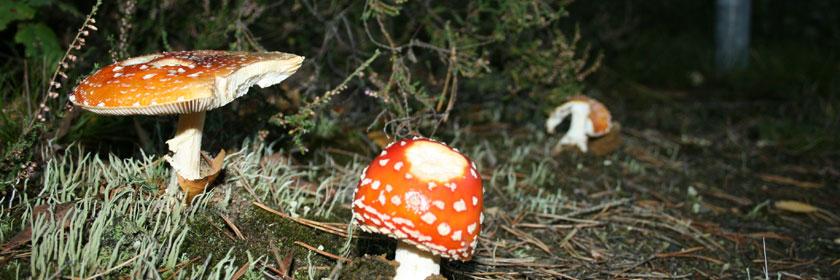 Pilze beim Laufen im Herbst